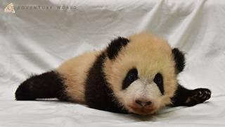 赤ちゃんパンダ誕生!和歌山ほっこり探訪のサムネイル