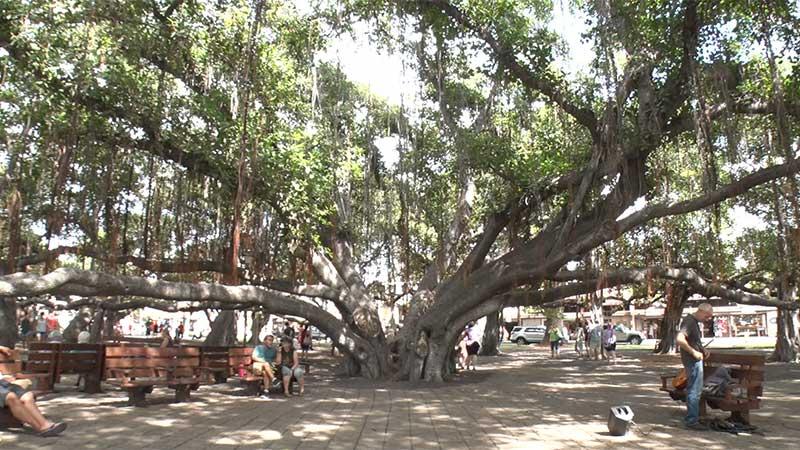 バニヤン・ツリー(The Banyan Tree)