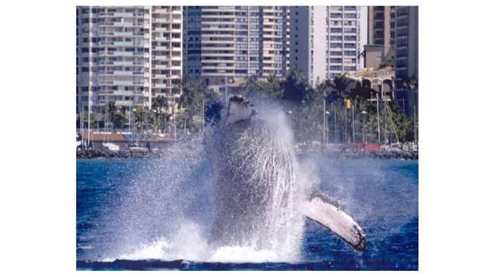 12~4月にハワイへ来たら、ホエールウオッチングへ出かけよう